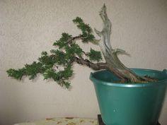 5- Juniperus (03/2011)