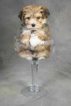 Ok, still a pitbull/mutt/rescue dog fan, but these morkies are cute lol (maltese+yorkshire terrier). Wish I could get portraits like these of my dogs Morkie Puppies, Teacup Puppies, Cute Puppies, Cute Dogs, Dogs And Puppies, Yorkies, Pyrenees Puppies, Poodle Puppies, Havanese