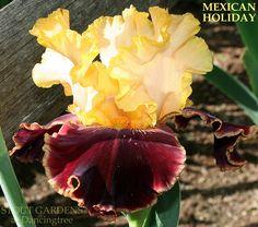 "1 rhizome peach /""Mexican holiday/""  flowering perennials magenta Bearded Iris"