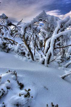 Snow Gums on Mt Wellington - Hobart - Tasmania by Brendan Davey, via Flickr