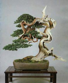 bonsai genévrier shimpak #bonsai genévrier shimpaku