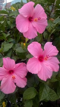 Ideas For Wallpaper Rosa Acuarela Hibiscus Plant, Hibiscus Flowers, Exotic Flowers, Tropical Flowers, Fresh Flowers, Colorful Flowers, Pink Flowers, Wallpaper Nature Flowers, Flowers Nature