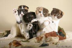 I would like a basket of Scottish fold kitties for Christmas, please.