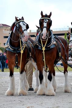 Clydesdales, one of my favorite horse as a child.