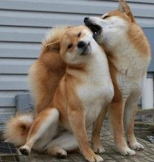 I want a Shiba Inu