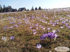 18 kwietnia 2013r. wiosna i krokusy w Tatrach