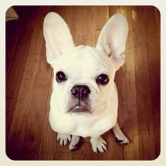 This is a french bulldog, right in the FACE.