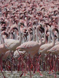 Lesser Flamingoes at Lake Bogoria in Kenya by Steve Garvie.