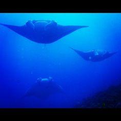 #diving #scuba #scubadiving #sealife #ocean #underwater #nature #wildlife #blue_planet #mantaray #maldives