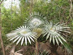 Amazing radiating leaf-pattern seems unnatural. Rare Plants, Cactus Garden Landscaping, Palm Tree Flowers, Cool Plants, Foliage Plants, Palm Plant, Palm Garden, Unusual Plants, Cactus House Plants