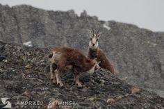 Chamois. #wildlifephotography Wild Animals, Wildlife Photography, Kangaroo, Pictures, Baby Bjorn, Wild Ones, Nature Photography