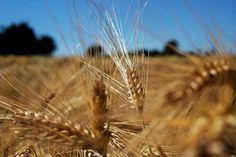 #Repost @silvio.zueri  One in a million #roadtrip #field #nature #outdoors #outdoor #dof #depthoffield #fujifilmx_ch #fujifilm #srfaugenzeuge #switzerland #myswitzerland #zürich #greifensee #korn #explore #exploremore #wanderlust #roaming #hiking #züriunterland #züri #summervibes #summertime via Fujifilm on Instagram - #photographer #photography #photo #instapic #instagram #photofreak #photolover #nikon #canon #leica #hasselblad #polaroid #shutterbug #camera #dslr #visualarts #inspiration…