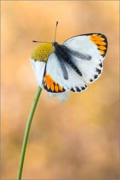 Colotis evagore by Peter Schwarz on 500px