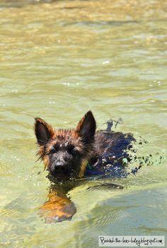 GSD Puppy-Jonah