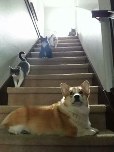 Sir Yorick at his Uncle Garrett's house, hanging out with his kitty cat cousins. #corgi