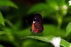 Butterfly, Butterflies, Fairchild Tropical Garden Miami Florida  #JMphotography