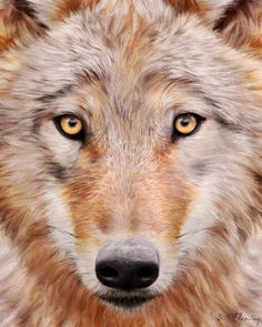 sandy colored wolf