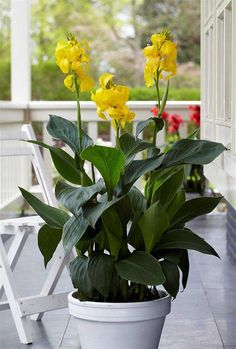 Canna 'Cannova Yellow' Balcony Plants, Outdoor Plants, Garden Plants, Canna Lily, Alpine Plants, Tall Plants, Tropical Plants, Petunias, Botanical Gardens
