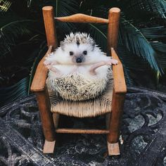 Hello, world! It's time for a prickly (but sweet!) dose of #WeeklyFluff. Lionel the hedgehog (@lionelthehog) hails from Charleston, South Carolina, where he loves spending time with his human and posing for playful photo shoots. Follow @lionelthehog to make sure you never miss a moment with this little guy.