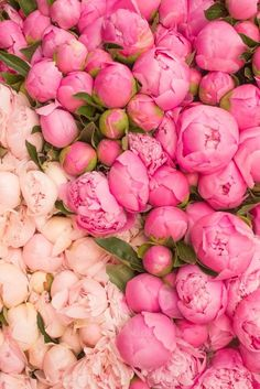Pretty pink peonies in Paris