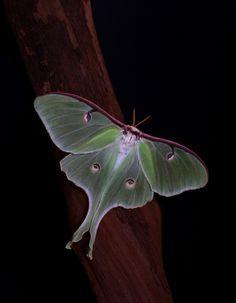 Dark Summer of the Black Water Snake 2013. Luna moth