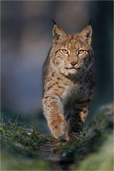 Lynx by Peter Lindel