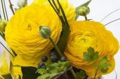 ranunkeln, flowers, spring, nature, plant, yellow