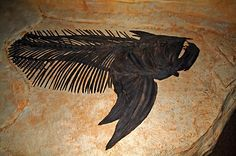 This fearsome fossilized fish is preserved at the Sternberg Museum in Hays, Kansas.  Posted by mike 11:03 AM   Comments/Permalink (0)  Categories: Nature   top of page