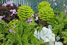 Euphorbia characias 'Dwarf' flower