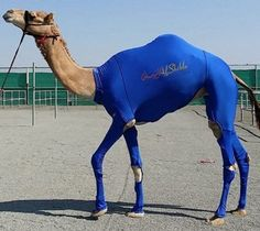 """Caleb in Lycra! Dashing… """"Anne Wolter, a partner at the firm who created the suits said: """"The full body suit can help racing camels run faster, while the cream of the species entered into camel beauty contests will have the ability to stand taller after using the suit."""""""