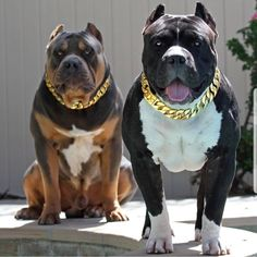 Uplifting So You Want A American Pit Bull Terrier Ideas. Fabulous So You Want A American Pit Bull Terrier Ideas. Pitbull Terrier, Amstaff Terrier, Scary Dogs, Funny Dogs, Cute Dogs, Big Dogs, Dogs And Puppies, Bully Dog, Beautiful Dogs