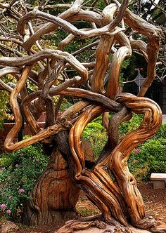 Somewhere in Sausalito, California. That's all I could find out about this, uh, tree. 👹This tree looks like it was tormented Weird Trees, Dame Nature, Twisted Tree, Unique Trees, Trees Beautiful, Colorful Trees, Old Trees, Tree Branches, Nature Tree