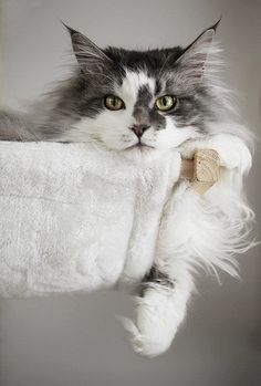 Are you looking to find Maine Coon Kittens for sale? We have some tips and advice to help you find these cats for sale from a trusted breeder in your area Pretty Cats, Beautiful Cats, Animals Beautiful, Cute Animals, Gorgeous Gorgeous, Absolutely Gorgeous, Beautiful Places, I Love Cats, Crazy Cats