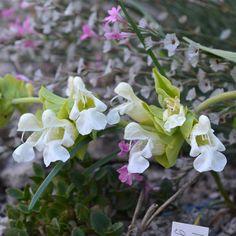 Salvia kronenburgii Rech.f. Seeds For Sale, Salvia, Garden, Plants, June, Garten, Sage, Lawn And Garden, Gardens