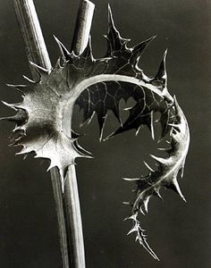 Karl Blossfeldt (German, 1865-1932) • Art Forms in Nature: Examples from the Plant World Photographed Direct from Nature, 1929 • Karl Blossfeldt, Age 30,...