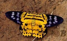 Yellow Leopard Moth