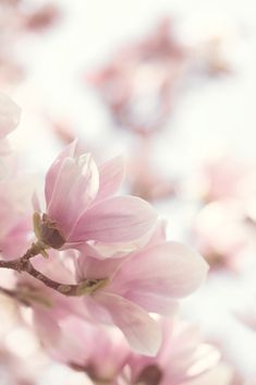 New wall paper flores nature cherry blossoms ideas Flowers Nature, Pink Flowers, Beautiful Flowers, Flower Backgrounds, Flower Wallpaper, Iphone Wallpaper, Rosa Pink, Magnolia Flower, Happy Paintings