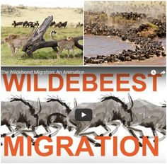 So what exactly is the Wildebeest Migration? We explain all you need to know in this illustrated video Best Positions, Africa Travel, Need To Know, Knowing You, Safari, Tours, Vacation, How To Plan, Illustration