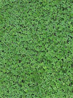 White clover - my new groundcover. Goodbye lawn!