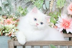 Pictures of white Persian kittens and cats, White cats, blue eyed white kittens, copper eyed white cats, green eyed white Persian kittens for sale, pure white cats, White Persians, white Persian cat breeders, White doll face Persian kittens for sale #persiancatdollface