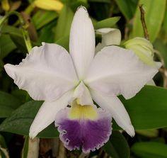 Sunset Valley Orchids - Lc. Indigo Dawn v. coerulea