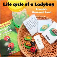 Life Cycle of a Ladybug activities plus PRINTABLE montessori inspired ladybug life cycle cards