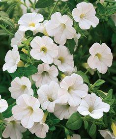 Marshall S Peace Sport Of Morden Blush Abundant White Very Full 41 Petals Blossoms In