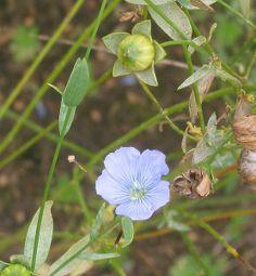 Province flowers of Sweden- Hälsingland Flower-Linum usitatissimum