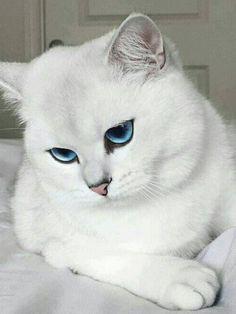 White fur, blue eyes.