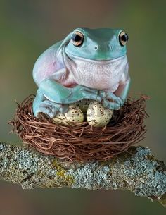 A white tree frog is sitting on some bird eggs as if they were her own. Funny name, he looks blue here.