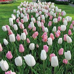 Love the name of this!  Marshmallow Fields Tulip Mix - A blend of white and lavender-pink tulips blooming in mid-spring.
