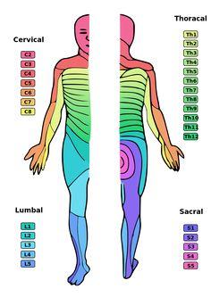 Dermatoms - Bandscheibenvorfall – Wikipedia