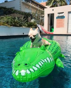 Chihuahua Love, Dog Pool Floats, Chiwawa, Animal Antics, Cute Cats And Dogs, Little Critter, Diy Dog, Vacation, Chi Chi