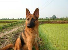 Nguyên tắc cơ bản khi huấn luyện chó Becgie http://becgie.net/nguyen-tac-co-ban-khi-huan-luyen-cho-becgie.html